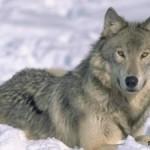 Волк в славянской языческой мифологии